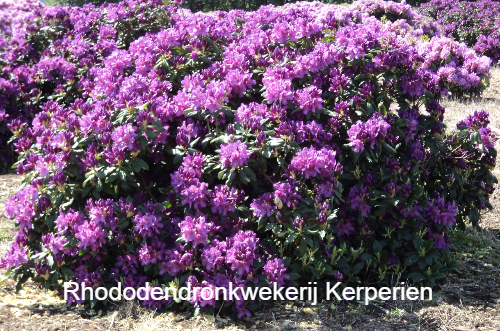 grote-rhododendron-lee-darks-purple